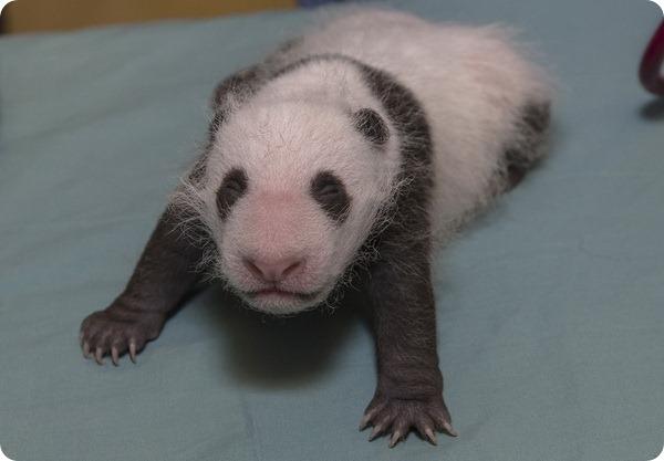 Детёнышу большой панды из Сан-Диего определили пол