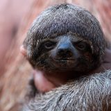 Трёхпалые ленивцы