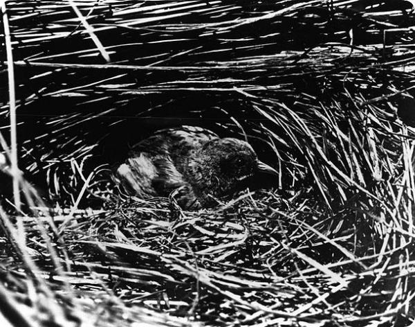 Лайсанский погоныш (лат. Porzana palmeri).