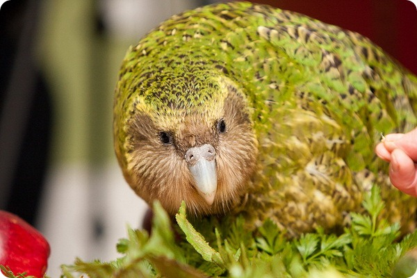 Какапо или совиный попугай (лат. Strigops habroptilus)