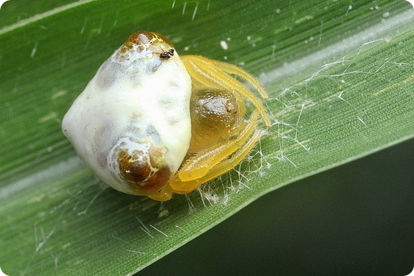 Паук-кругопряд Cyrtarachne fangchengensis