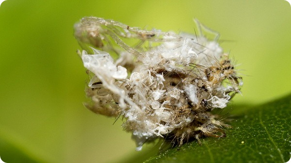 Личинки златоглазки (лат. Chrysoperla carnea)