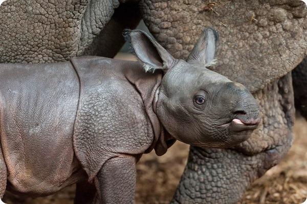 В швейцарском зоопарке родился детёныш панцирного носорога