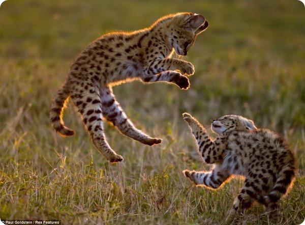 Мир дикой природы от фотографа Пола Гольдштейна