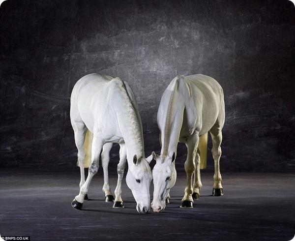 Лошади позируют в студии профессионального фотографа