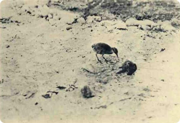 Уэйкский пастушок (лат. Gallirallus wakensis).