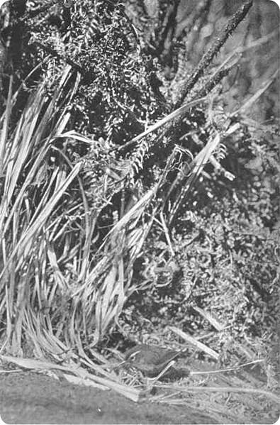 зеландский кустарниковый крапивник (лат. Xenicus longipes)