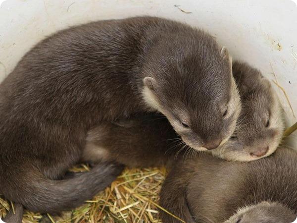 В австралийском зоопарке Перта родились маленькие выдрята