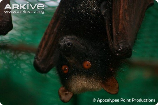 Гривастый ацеродон (лат. Acerodon jubatus)