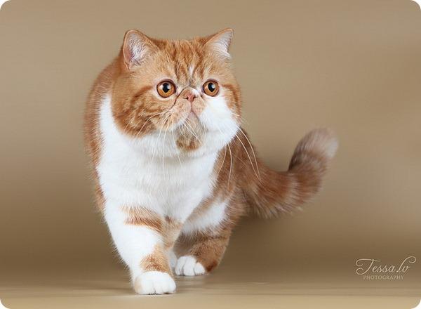 Экзотическая короткошерстная кошка или экзот