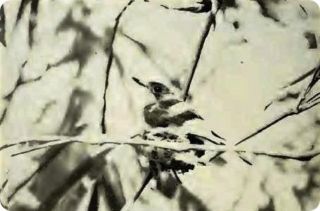 Гуамская миагра (лат. Myiagra freycineti)