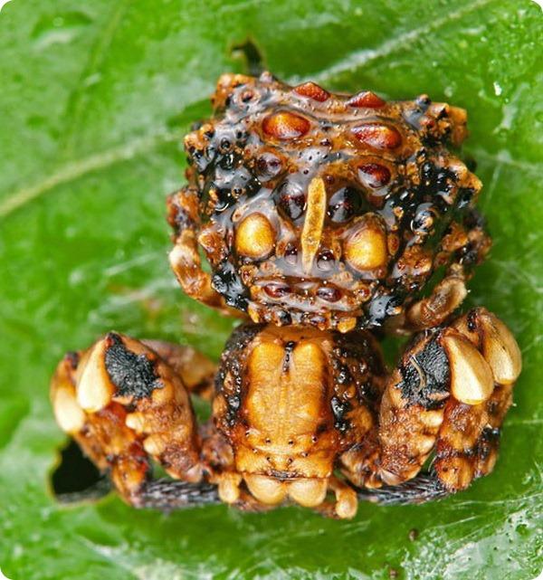 Притворившийся птичьим пометом паук-бокоход (лат. Phrynarachne).