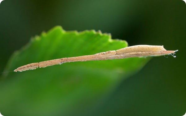 Пероногий паук из семейства Miagramoppes