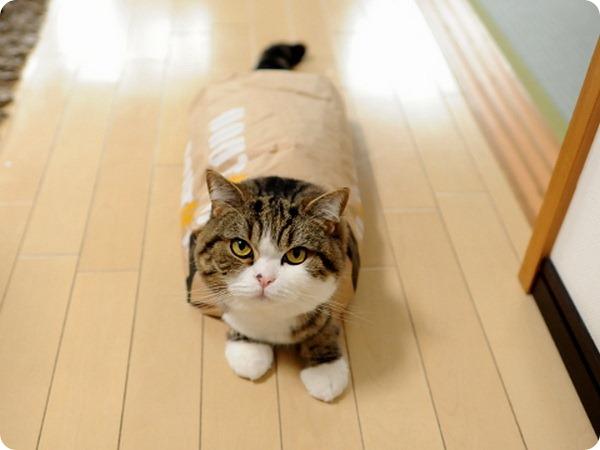 Кот Мару – настоящий проныра