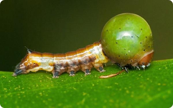 Гусеница карликового шелкопряда