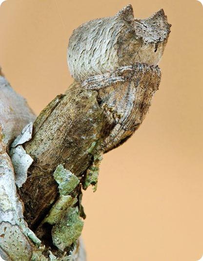 Представитель семейства пауков-кругопрядов (лат. Poltys sp.) виртуозно изображает кору засохшего дерева