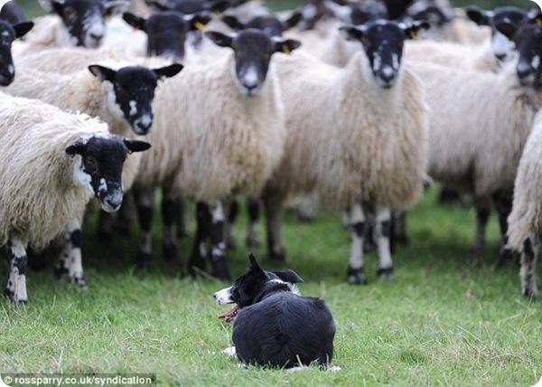 Самая дорогая в мире собака-пастух