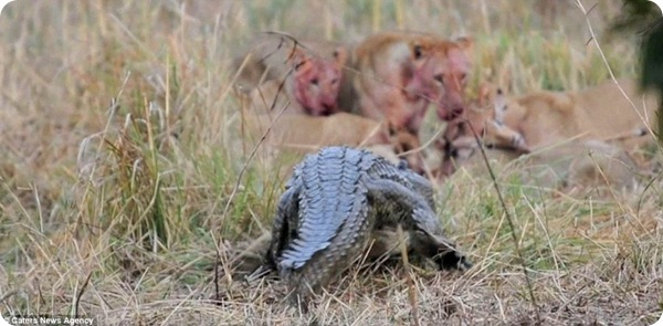 Крокодил против львов!