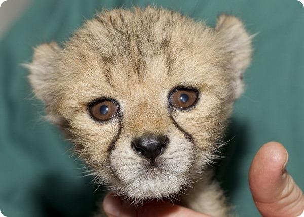 Детёныш гепарда станет участником просветительских программ