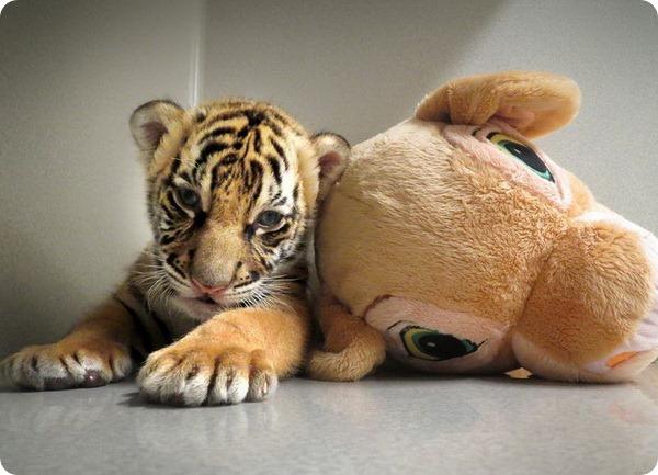 Новый тигрёнок по кличке Бирани в Point Defiance Zoo