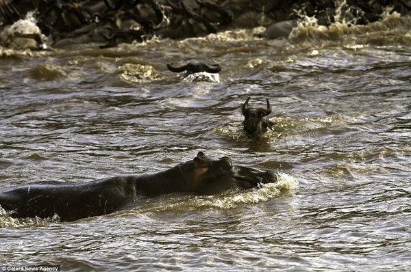 Бегемот остановил миграцию антилоп гну