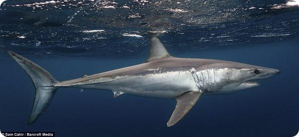 Фотографии акул у острова Нептун