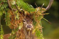 Король-олень из Ричмонд Парка