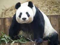 Панды из зоопарка Эдинбурга награждены за вклад в туризм
