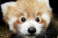 Детёныши красной панды из британского зоопарка