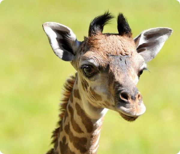 В зоопарке Гринвилла радуются появлению детёныша жираф