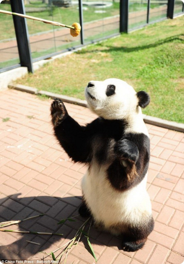Панды-сластёны на празднике Чжунцю в Китае