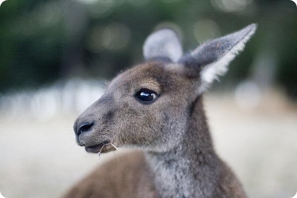 Западный серый кенгуру (лат. Macropus fuliginosus)