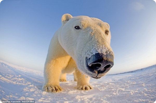 Белые медведи из Арктического национального заповедника
