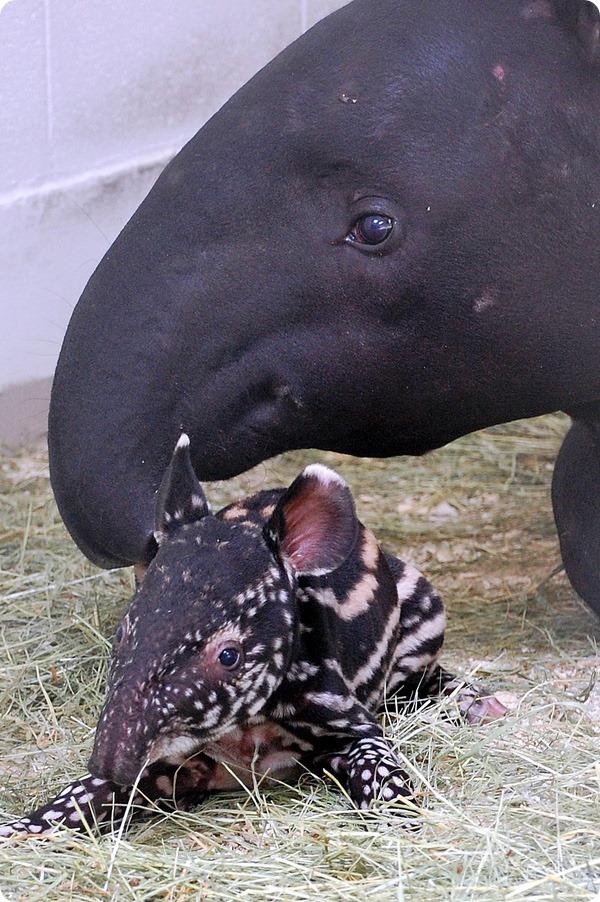 Детёныш тапира остался жив благодаря сотрудникам зоопарка