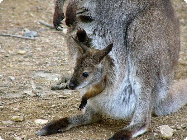 Рыже-серый валлаби (лат. Macropus rufogriseus)