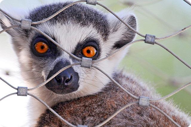 Кошачий или кольцехвостый лемур (лат. Lemur catta)