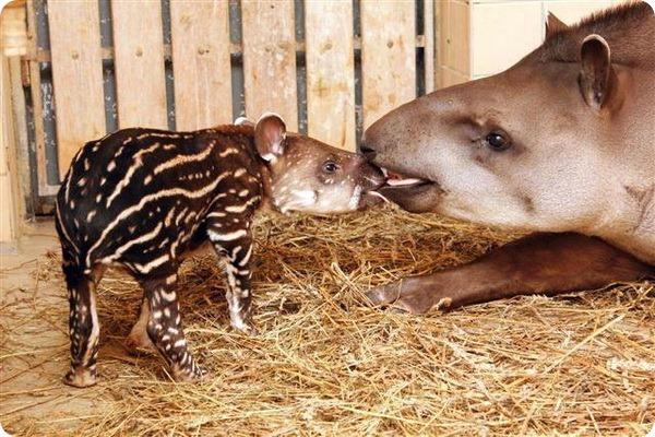 Детёныш тапира из чешского зоопарка Zoo Brno