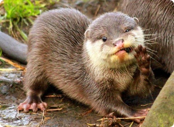 Шотландский зоопарк представил пятерых выдрят