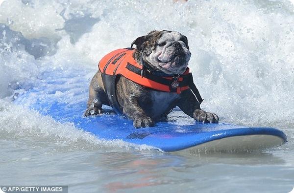 Собаки на серфинге