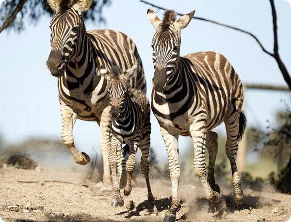 Маленькая зебра из австралийского зоопарка Monarto Zoo