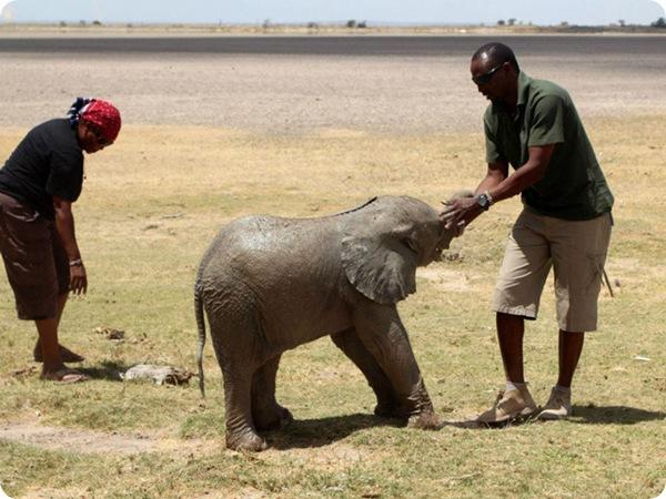 Как спасали слонёнка из ямы