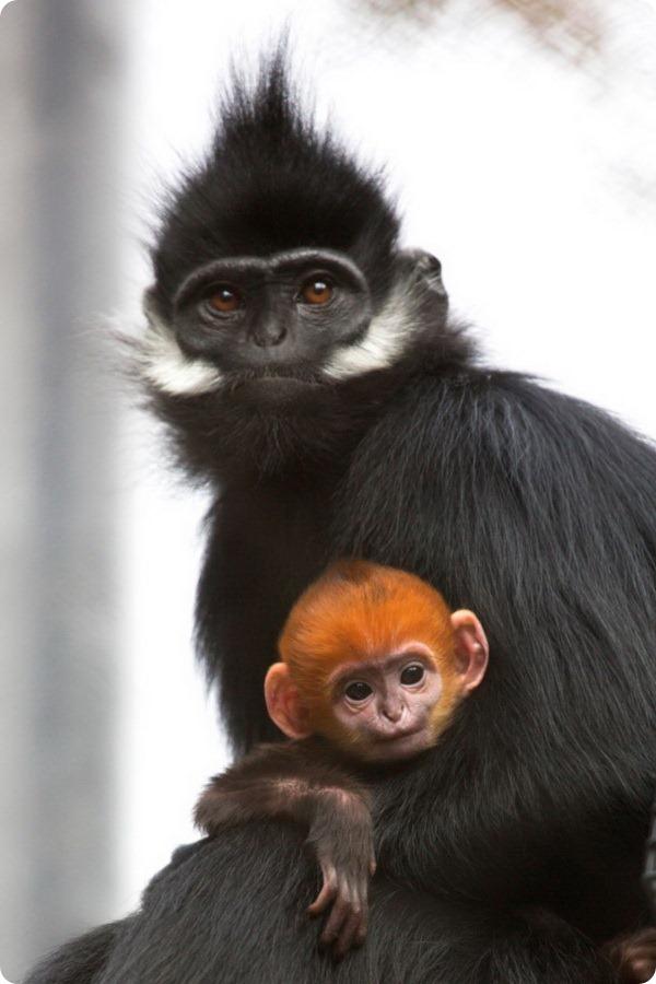 Чудо-малыш лангура из зоопарка Сан-Франциско