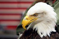 Белоголовый орлан радуется новому клюву
