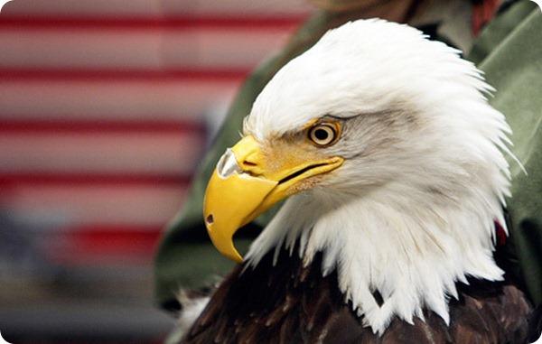 Белоголовый орлан по имени Красотка радуется новому клюву
