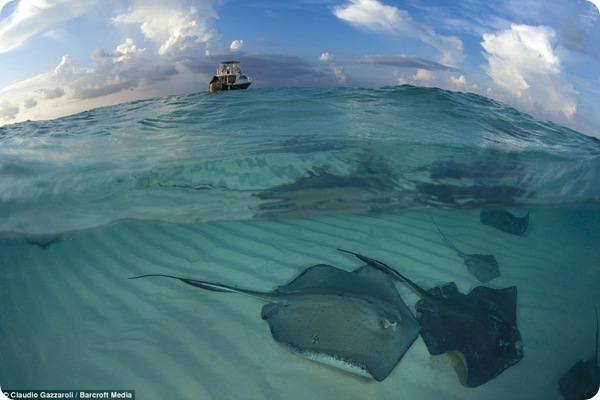 Скаты Каймановых островов
