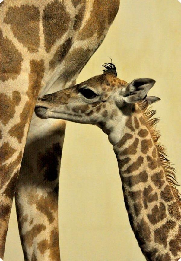 В зоопарке Гринвилла радуются появлению детёныша жирафа