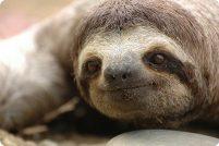 Бурогорлые ленивцы