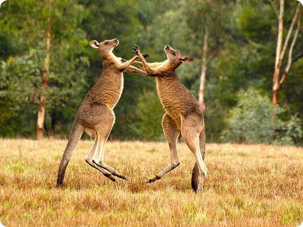 Гигантский кенгуру (лат. Macropus giganteus)