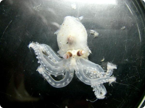 Амфитретус (лат. Amphitretus pelagicus)