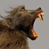 Чакма или медвежий павиан